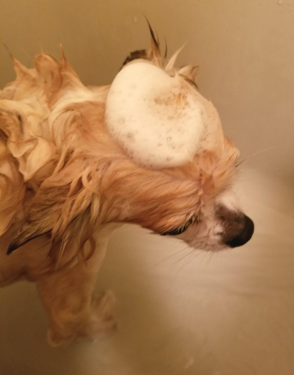 現役美容師が飼ってる犬をシャンプーカットしたっていう話。