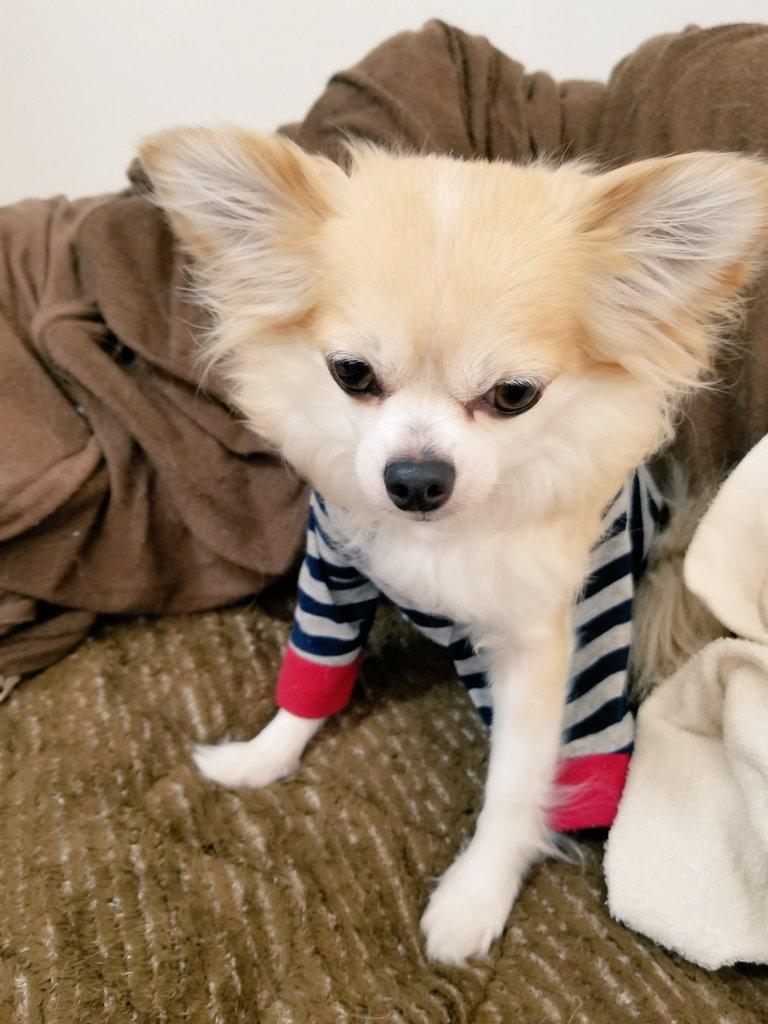 愛犬チワワのこーじの寝相について。笑